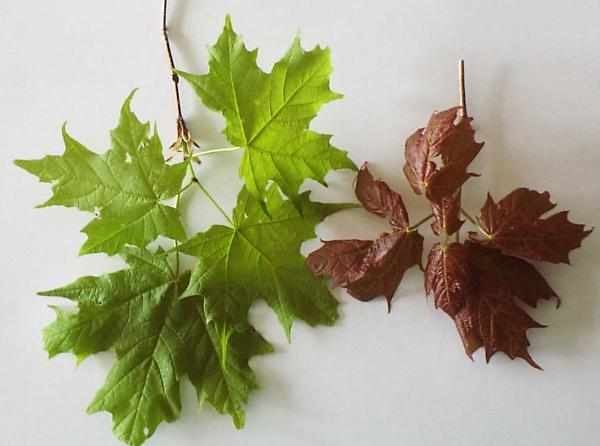 Healthy, green sugar maple leaves and abnormally reddish brown spring leaves