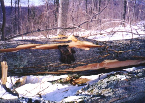 A large shattered limb of a sugar maple.