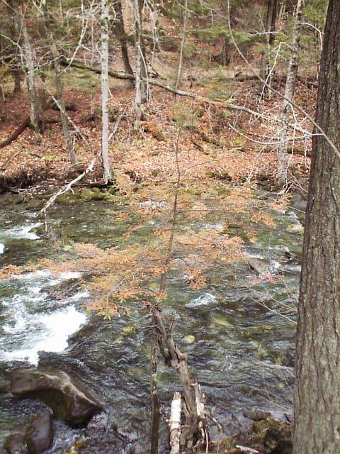 Small dying hemlock on stream bank.