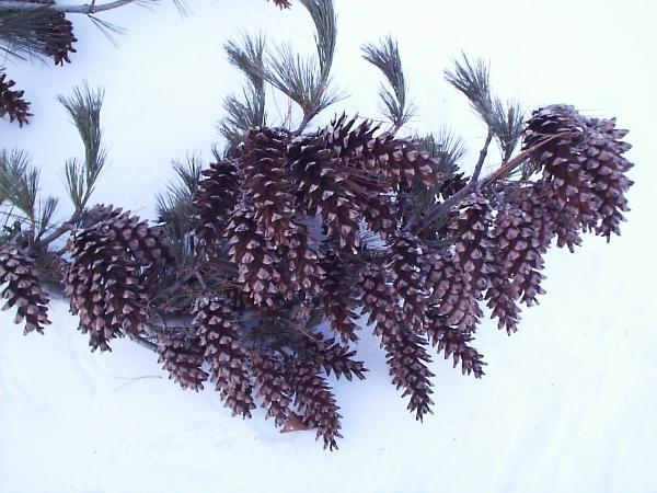 Stress cones on a white pine branch.