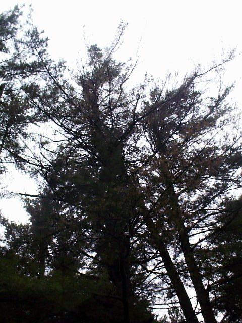 Dying white pine near Quechee Gorge in Vermont