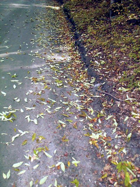 Premature leaf drop in white ash - August 2000